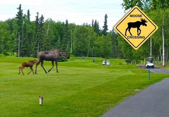 Anchorage Golf Course Moose Crossing